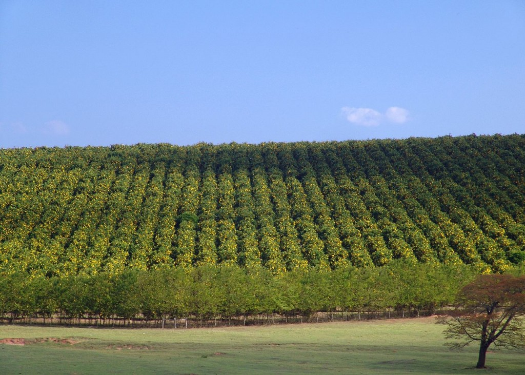 Orange groves, photo by Javier Martín, Wikimedia