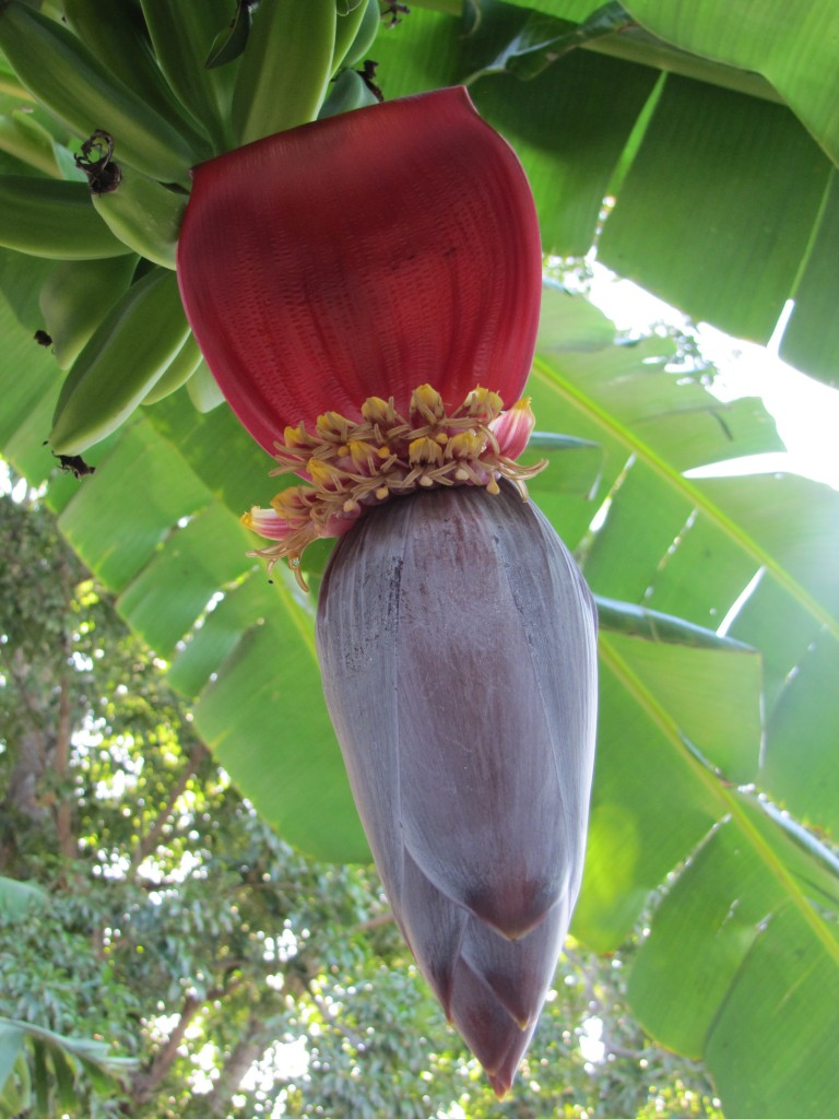 Banana blossom in our backyard.