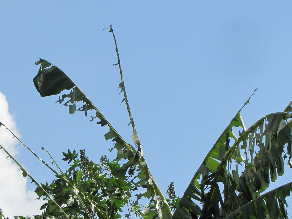 What's left of the neighbor's banana tree.
