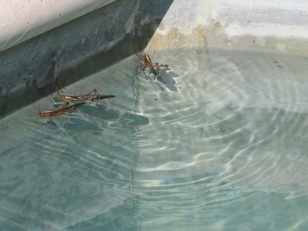 They swam and pooped in our pool!